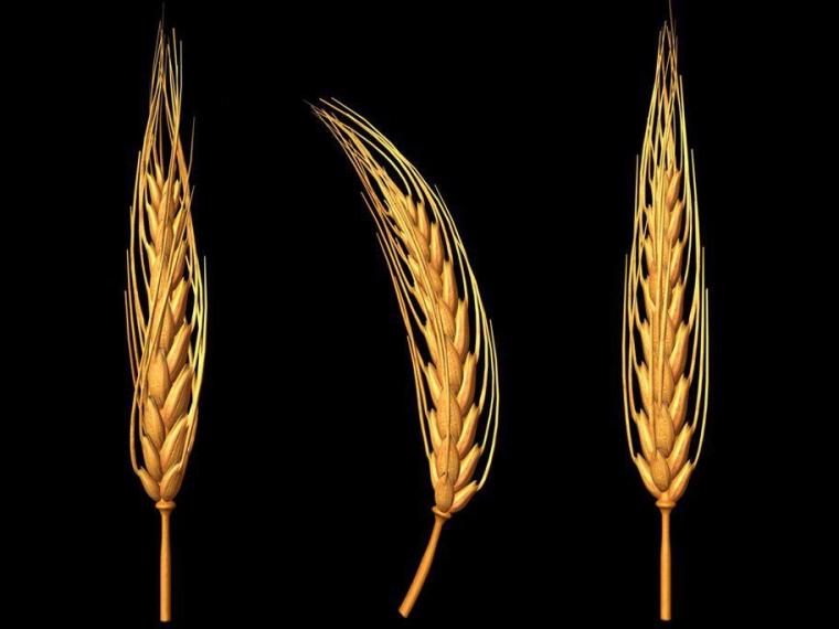Поделка колос пшеницы своими руками 442